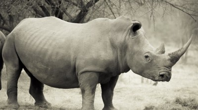 white-rhino-large-101011-1038x576.jpg